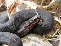 Portrait of an black adder. Close up portrait of an melanistic common adder (Vipera berus) in its natural habitat Stock Photos