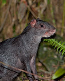 Portrait of Black Agouti Royalty Free Stock Photos
