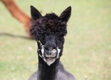 Portrait of a black alpaca. Royalty Free Stock Photo