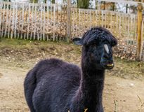 Portrait of a black alpaca suffering from alopecia on the nose, Bare nose syndrome, common alpaca diseases, animal health care royalty free stock photo