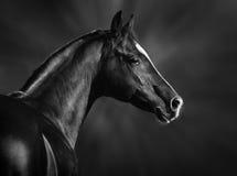 Portrait of black arabian horse. Black and white portrait of arabian stallion royalty free stock image