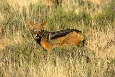 Portrait of a black-backed jackal in a South African national game reserve. stock photo