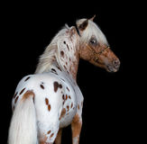 Portrait on black backgound of American Miniature Horse Stock Images