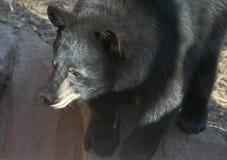 A Portrait of a Black Bear Cub Stock Photo
