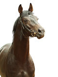 Portrait of black beautiful  horse isolated Stock Image