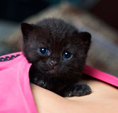 Portrait of a black British kitten Royalty Free Stock Photo