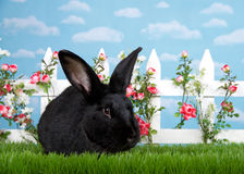 Portrait of a black bunny in flower garden. Large black  bunny in green grass facing viewer, white picket fence with pink roses. Blue background sky with clouds Stock Photo