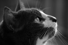 Portrait of black cat. Side portrait of black and white cat Stock Photos