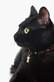 Portrait of a black cat. Closeup view of black cat face isolated on white Royalty Free Stock Images