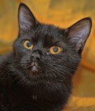 Portrait of a black cat Royalty Free Stock Photos