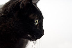 Portrait of a black cat Stock Photography