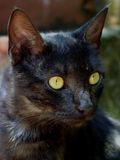 Portrait of black cat. Portrait of cute black cat with green eyes Royalty Free Stock Photo