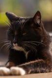 Portrait black cat Stock Photography