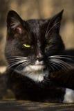 Portrait black cat 2 Stock Images