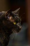 Portrait black cat 3 Stock Images