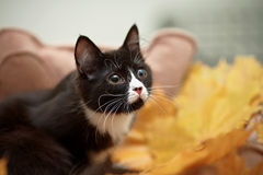Portrait of a black cat with autumn leaves. Royalty Free Stock Photography