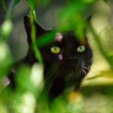Portrait of Black Cat in Folliage Royalty Free Stock Photography