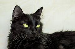 Portrait of a black cat with green eyes. Portrait of a beautiful young black cat with green eyes stock photos