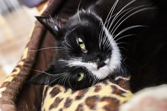 Portrait of a black cat with green eyes swinging at home. royalty free stock photography