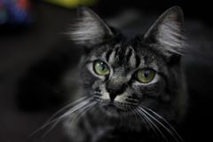 Portrait of black cat with green eyes watching you stock images