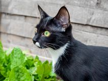 Portrait of a black cat with green eyes and a white jabot royalty free stock image