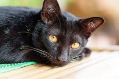 Portrait of black cat looking camera. Cute animal and pet Royalty Free Stock Photos