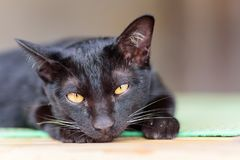 Portrait of black cat looking camera. Cute animal and pet Royalty Free Stock Image