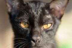 Portrait of black cat looking at camera. Cute animal and pet Stock Photos
