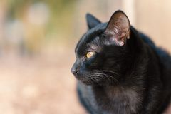Portrait of black cat looking for something. Cute animal and pet Royalty Free Stock Photo