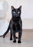 Portrait of a black cat Royalty Free Stock Image
