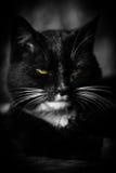 Portrait black cat sw Royalty Free Stock Photo
