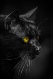 Portrait black cat sw 2 Stock Photo