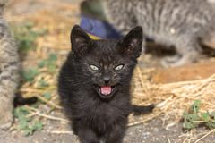 Portrait of black cat. Very angry and aggressive royalty free stock images