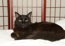 Portrait of a black cat on a white bed with wood divider wall in background stock images