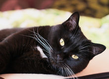 Portrait of a black cat with a white whiskers Royalty Free Stock Photography