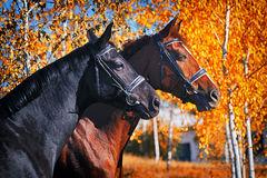 Portrait of black and chestnut horses in autumn. Forest Royalty Free Stock Photography