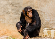 The portrait of black chimpanzee. Royalty Free Stock Image