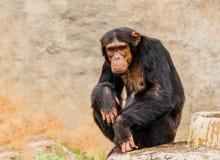 The portrait of black chimpanzee. Royalty Free Stock Photography