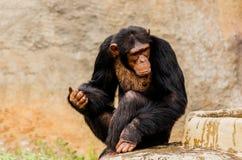 The portrait of black chimpanzee. Stock Photography