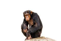 The portrait of black chimpanzee isolate on white background. Stock Image