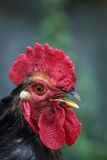 Portrait of a black cock. Black cock living in the village, summer Stock Images