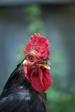 Portrait of a black cock. Black cock living in the village, summer Stock Image