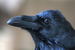 Portrait of black crow standing - common raven Royalty Free Stock Photo