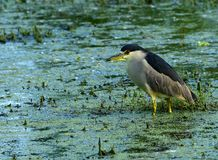Black-crowned Night Heron. Portrait of a black-crowned night heron in a wetland habitat Royalty Free Stock Photo