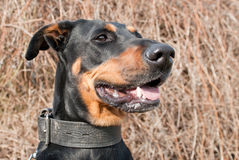 Portrait of a black doberman Stock Photos