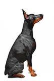 Portrait of black doberman on the white background Stock Photography