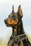 Portrait of black dobermann Royalty Free Stock Images