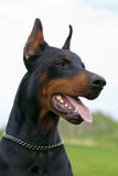 Portrait of black dobermann Stock Photo