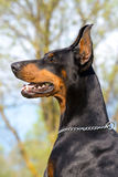 Portrait of black dobermann Stock Image