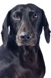 Portrait of a black dog Stock Photos